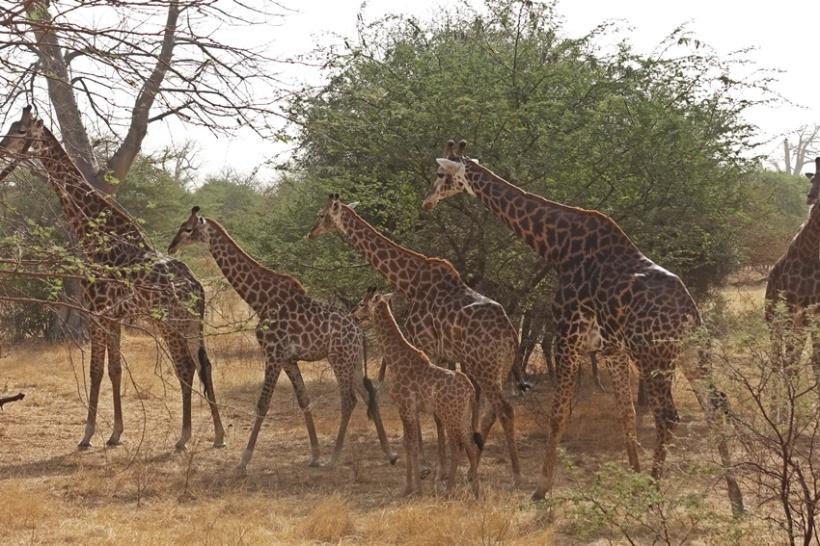 Giraffes at Bankia.