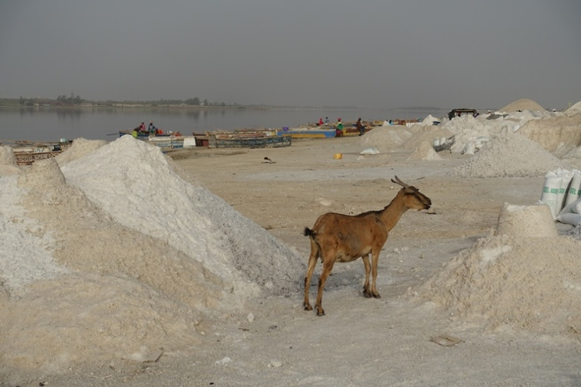 A goat roaming about the salt excavation area of the lake.