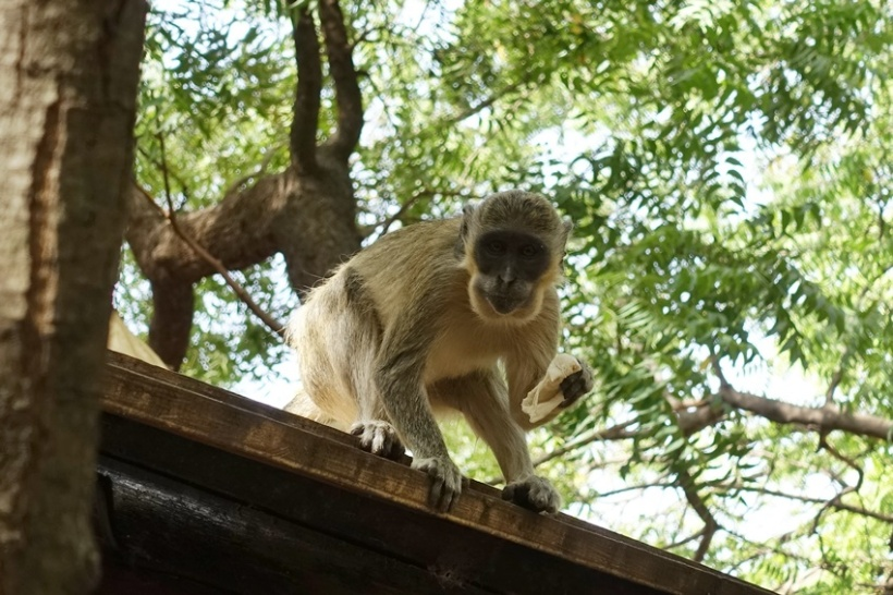 A mischievous monkey.
