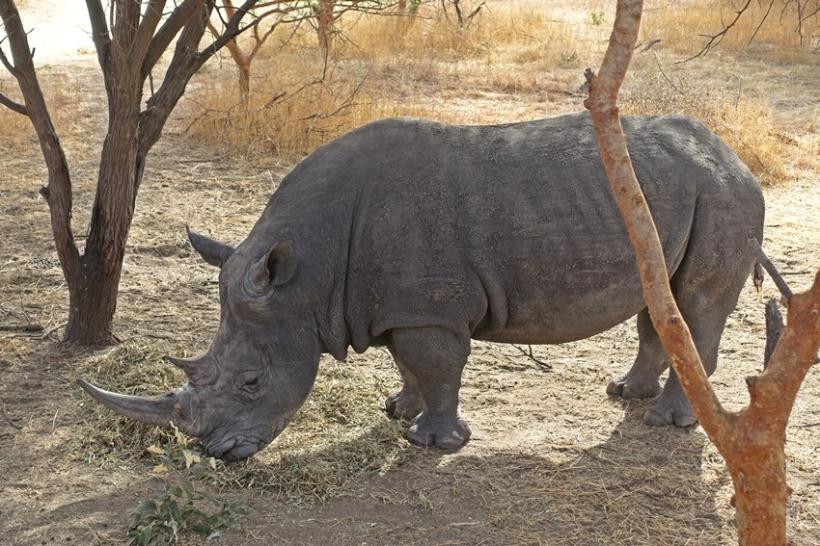 A rhino, unfazed by admiring tourists.